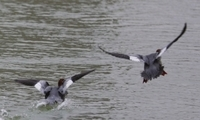 黄河边上水鸟舞春 灵动美丽