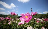 韩国:天朗气清惠风和畅 玫瑰芍药竞相开放【组图】