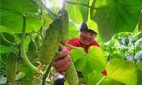 滦州:规模化发展设施蔬菜种植促增收(组图)