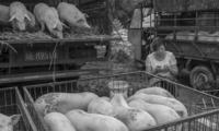 猪价狂跌,原因究竟是什么?