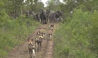 惊心动魄!南非大象为护幼崽吓退野狗群