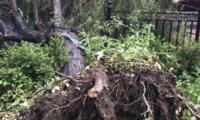 5米高大树连根折断 路边停放出租车被砸